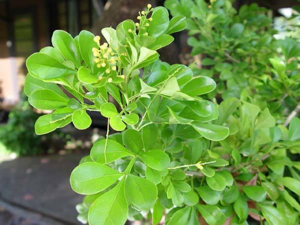 Meliaceae - Aglaia sp. (bahko brawo; bogosoup; buniau, lepuniau; Fun, Tamasewo, Garanki, Muge; Hamboro; kajoe hase boenga; kajoe si marbatoe-ni-bodat; Lantupak; Layme Mindi; Ndabuk; Ndraput; Penarahan Putay, Koping-Koping Nusa; ulukwala; ulukwalo; usopalpal; enger milomb; Lantupah; milomb neker; nembasina; Putih; Rangkori; yellow flowered milomb)
