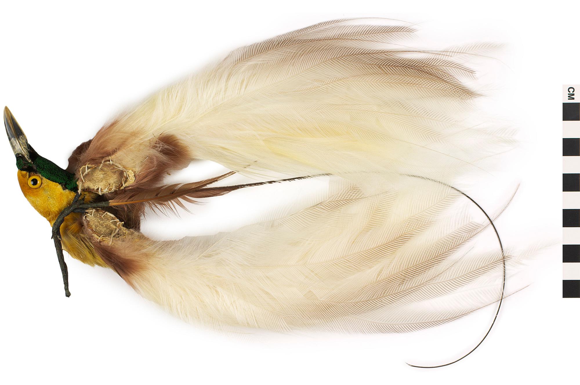 Lesser Bird-of-paradise   Q?rius