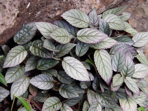 Acanthaceae - Hemigraphis alternata (redivy; no nombre común conocido por la dueña)