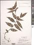 Commelina rufipes var. glabrata (D.R. Hunt) Faden & D.R. Hunt