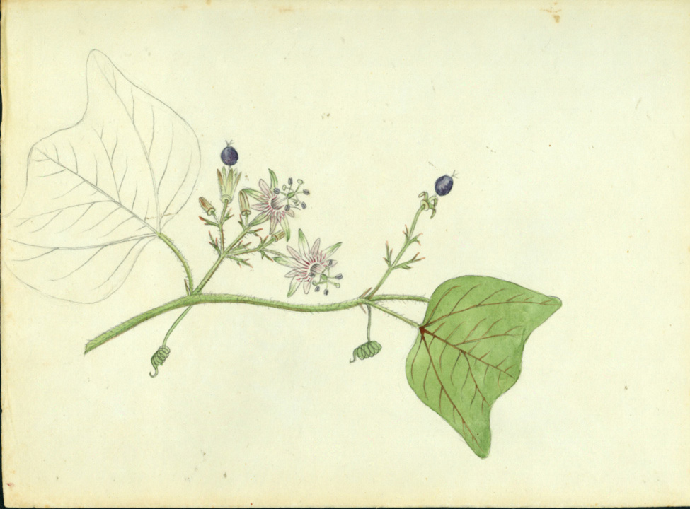 Passiflora sexflora image
