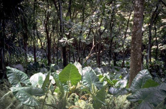 Araceae - Alocasia macrorrhizos (Ape ta'a; Baghliha. (other taro on Sonsorol called Moruya); Bele (might be name of rhizome only); Biga; Chalu; Ka; Ka; Ka; Kape Mahoi; Kape Paku; karunkut (Nashoi); katak; Kupe Puhi; Mashing (fille) (might be name of food product); Moruya; ngau ngau; Ngaungua; oth sapuken (Bascom 27i); papao atulong (or papao stulong); tingaugau; unog; woad, onak; wot; wot; wot; wot; giant taro; Cananga; Curacao pretu; black heart)
