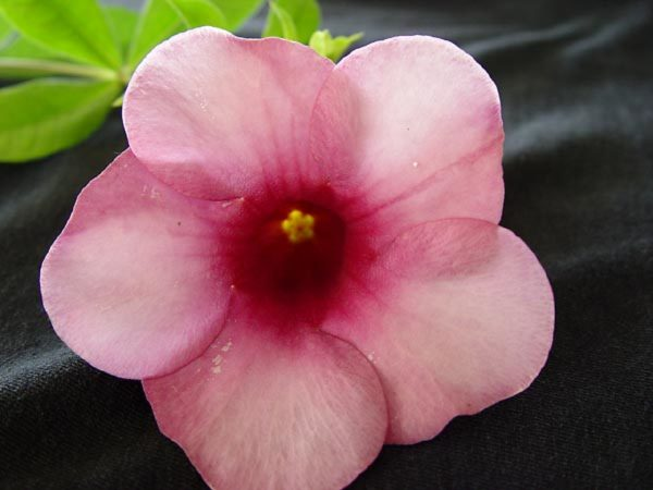 Apocynaceae - Allamanda blanchetii (purple allamanda)