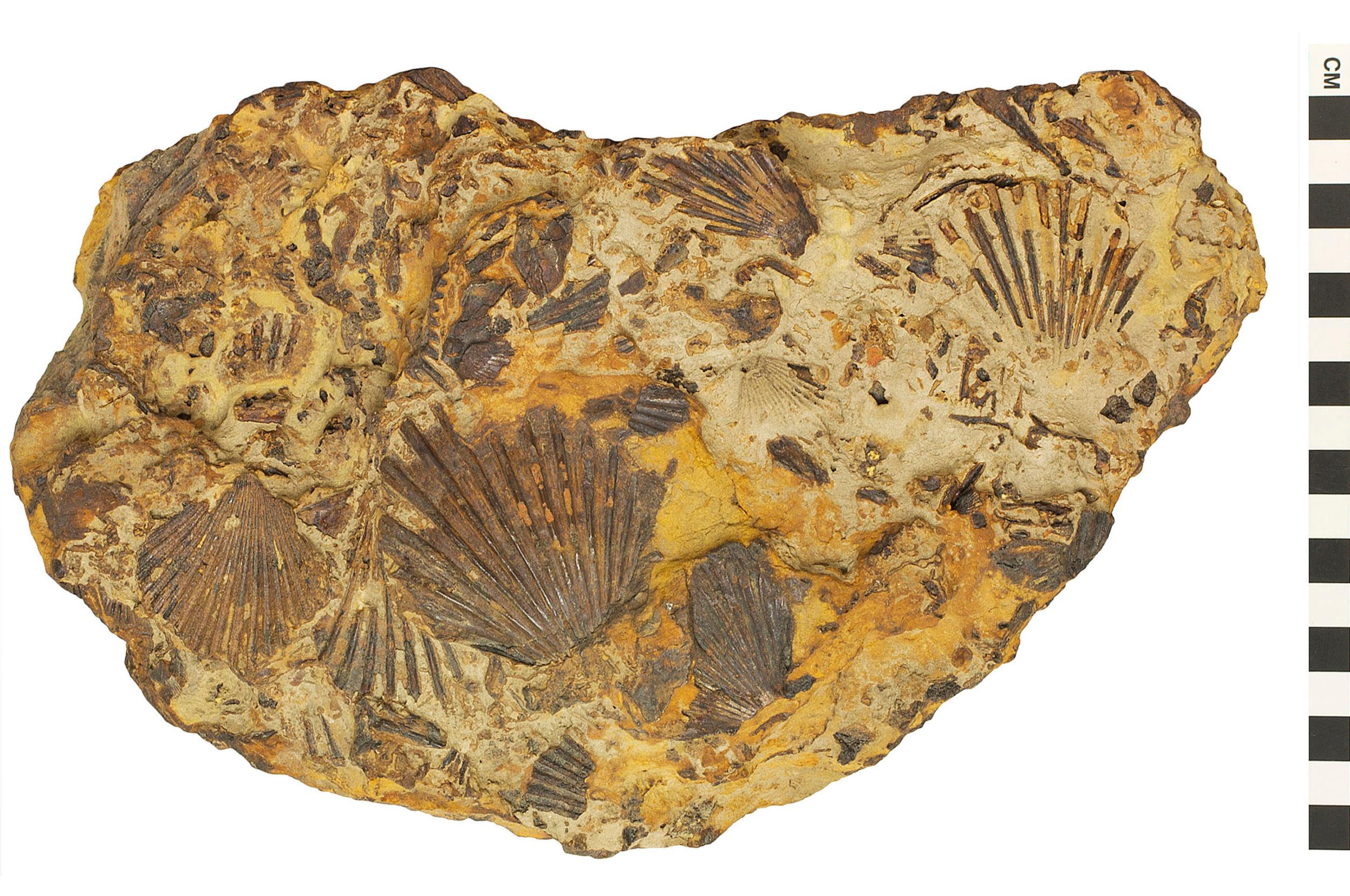 sedimentary rock fossiliferous sandstone qrius