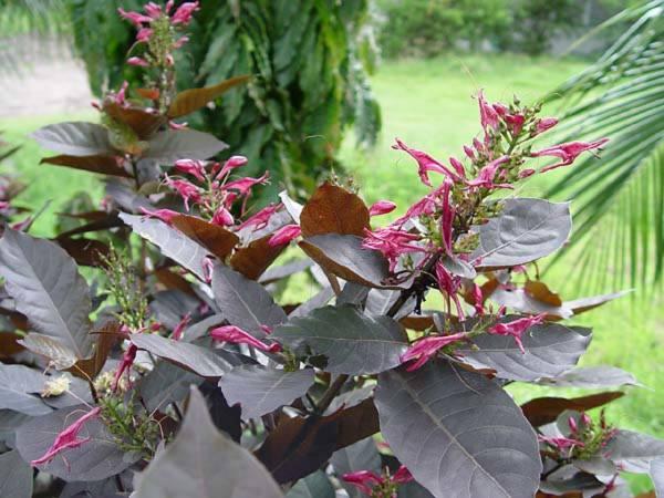 Acanthaceae - Graptophyllum pictum (caricature-plant; Godong Wungu; Handeuleum)