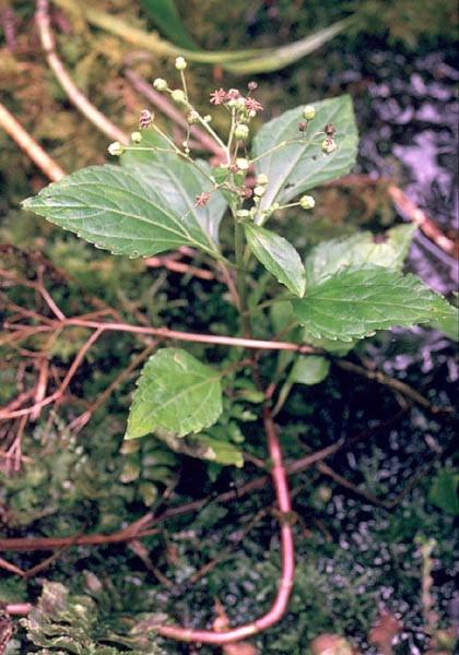 Asteraceae - Adenostemma viscosum (Vai anu; Haha'avai; Tahatahavai)