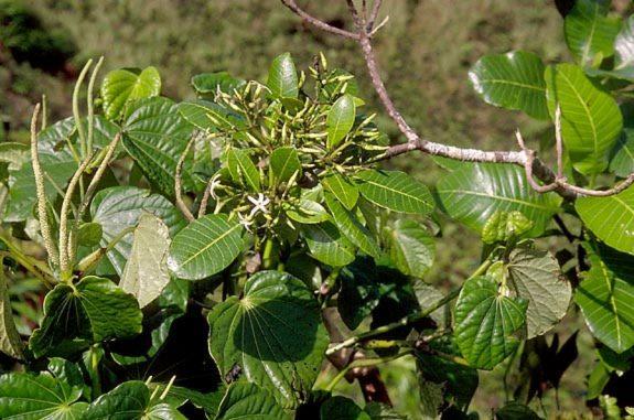 Apocynaceae - Alstonia marquisensis