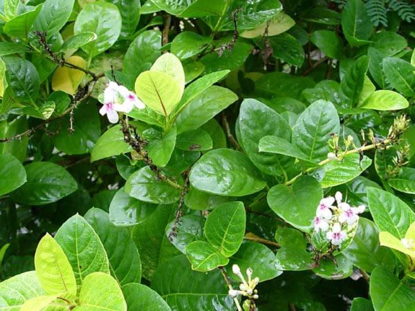 Acanthaceae - Pseuderanthemum carruthersii (huele de noche; huele de noche)
