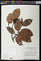 Eschweilera cyathiformis S.A. Mori
