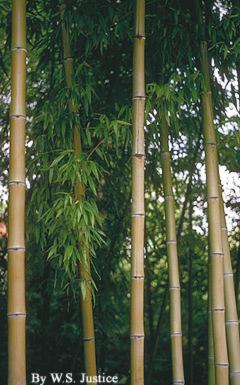 Phyllostachys bambusoides image