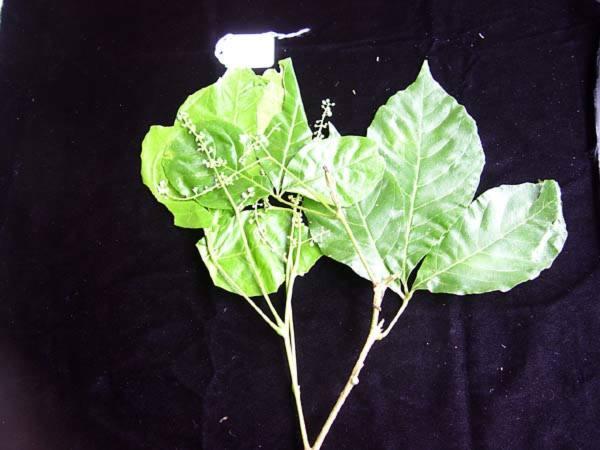 Sapindaceae - Allophylus timoriensis (Dala halu; Dala halu; Ebeluchdes; Ebeludes; Ebludes; Katak; Kitak; Kitak; Kitak; Kudak; Kutak; Kutak; Keda; Nga; Nga; Nga; nge; Nge; Ngo; ngor; Ngu; Nga; Ngu; ngur; Ngur; Ngur; Sakahar; Sakharu; Sakharu; Te kiruwaka; te kiriwaka; te ruwaka; Akayi-modoki; Kitdahk; sekesek)