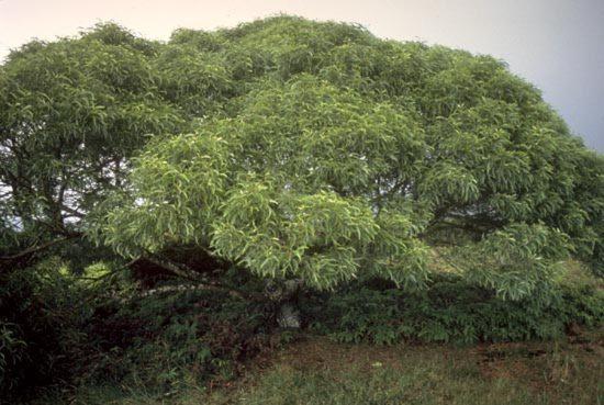 Fabaceae - Acacia koa (koa)