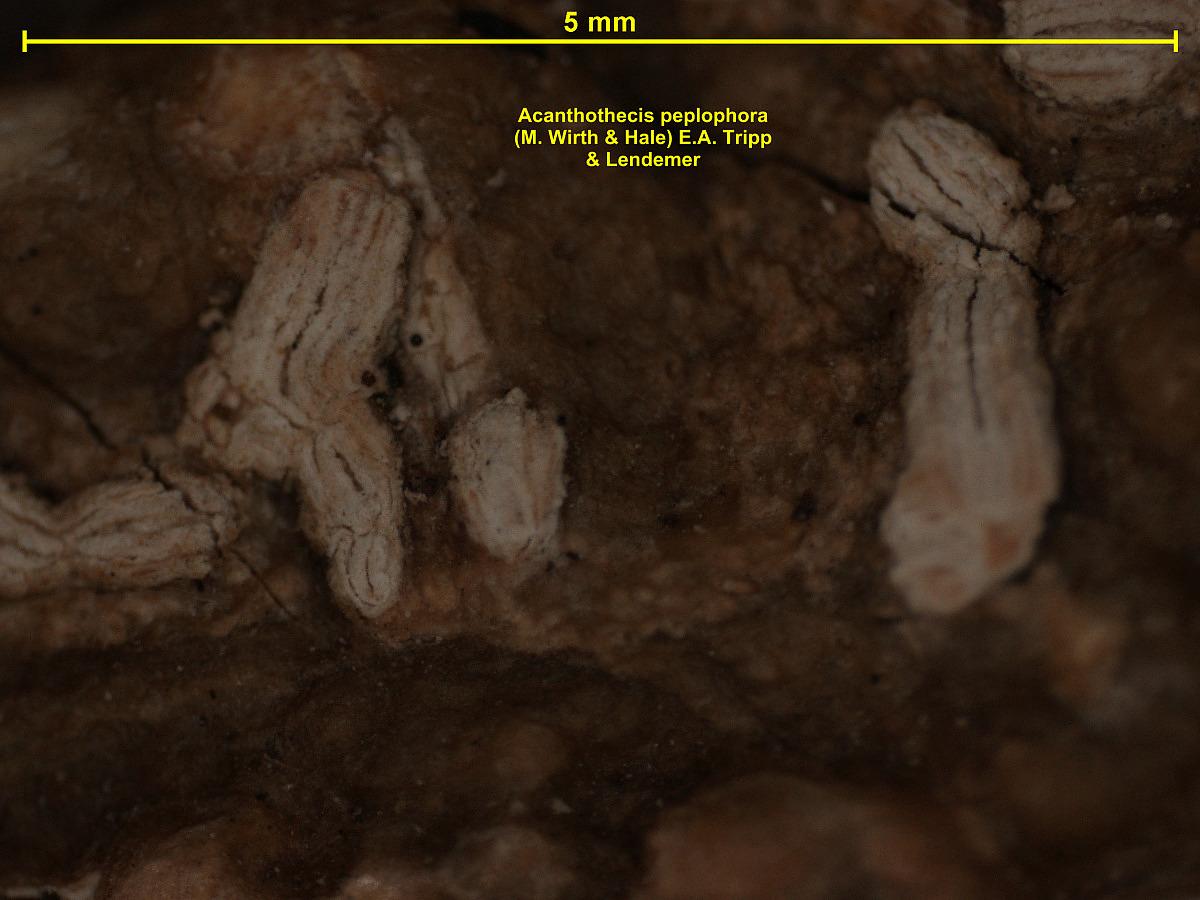 Acanthothecis dialeuca image