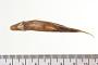 Hybognathus osmerinus Cope