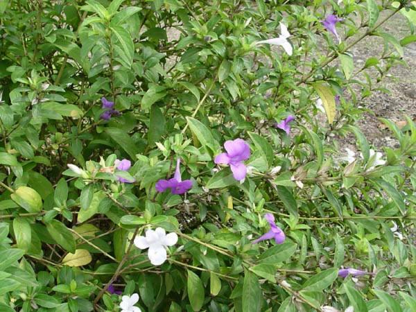 Acanthaceae - Barleria cristata (tombithi; andor rarat; Blue bell)