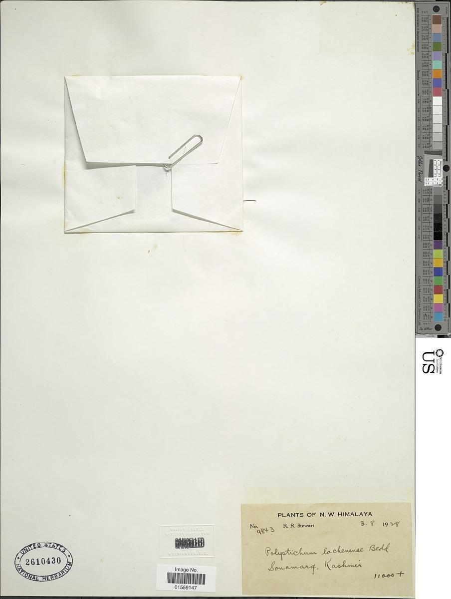 Polystichum lachenense image