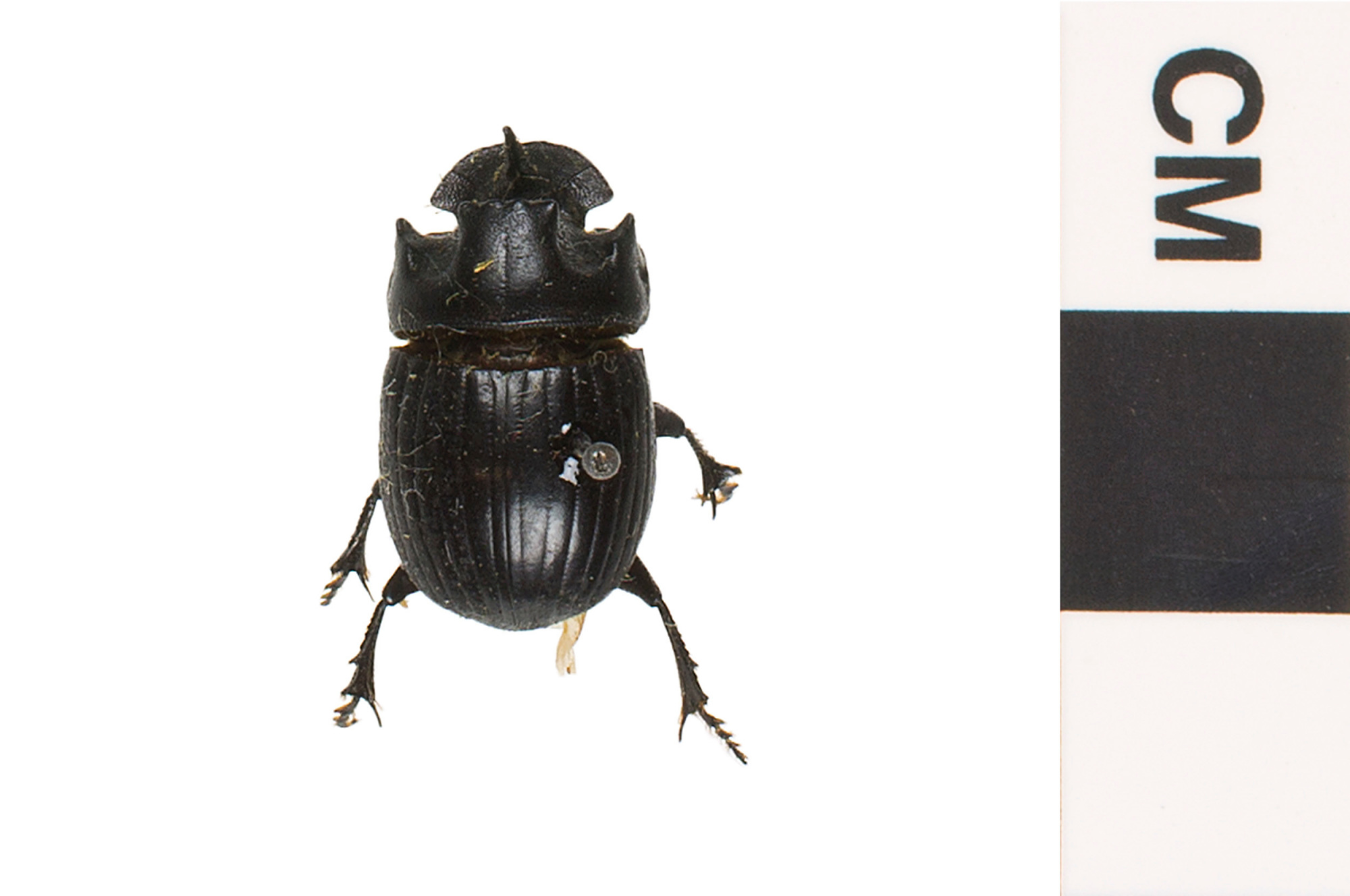 scarab beetle q rius