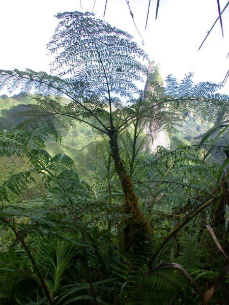 Cyatheaceae - Alsophila tahitensis