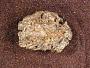 Lysorophus tricarinatus Cope
