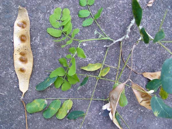 Fabaceae - Albizia lebbeck (acacia; Balayung; Carob.; cassia amarilla; Cha cha; kalaskas; Kalaskas; kokorohi; Lengua de mujer; Tippet; Vaivai.; Vaivai.; Woman's tongue; woman's tongue;
