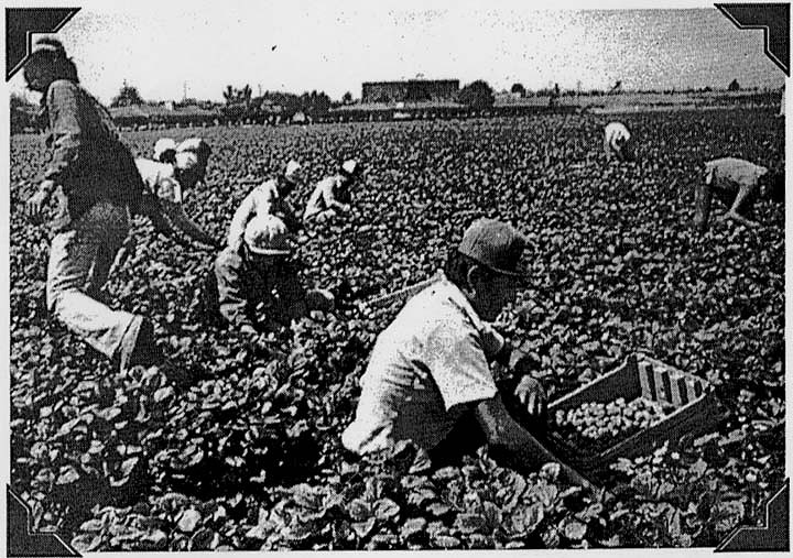 Workers picking strawberries, Pajaro Valley, California, 1980s