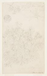 Study of a Rosa de Panama or Oleander Plant