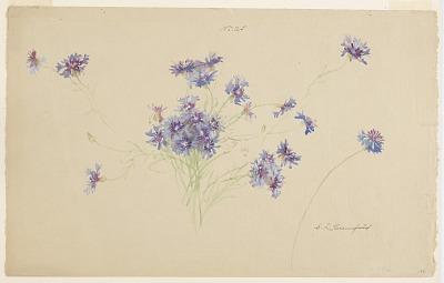 Study of Cornflowers