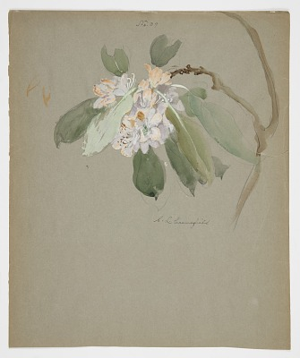 Study of Rhododendron