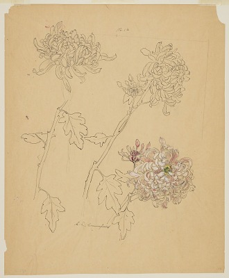 Studies of Chrysanthemums