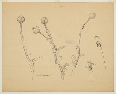 Studies of Poppy Buds