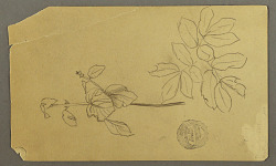 Drawing. Sketches. Stem of a plant. Boughs with leaves.