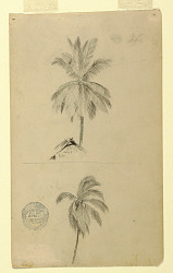 Drawings. Two sketches. Palms.