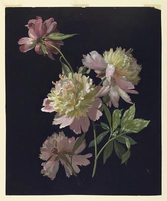 Flower Study, Peonies