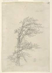 A Pitch Pine