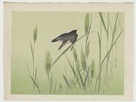 A black ouzel on the wheat-field