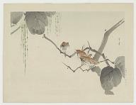 Wren on a catalpa tree