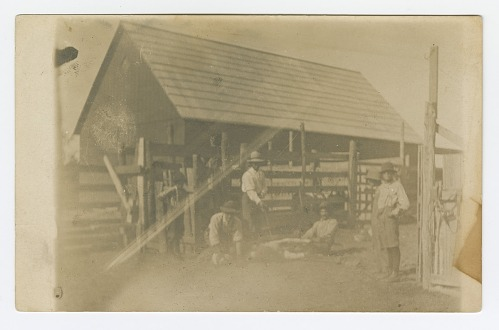 Image for Postcard of men branding a cow