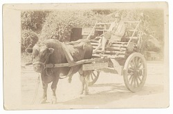 Photographic print of a woman in an ox cart at McLeod's Amusement Park