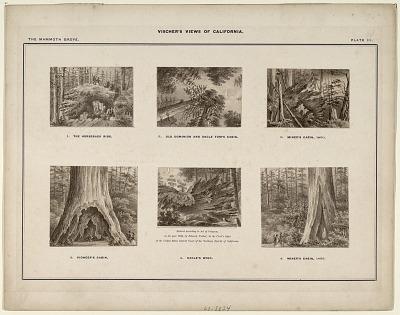 The Mammoth Grove. Plate III