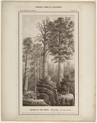 The Mammoth Grove. Plate IV. Mother of the Forest, (1855 and 1861) and Other Groups