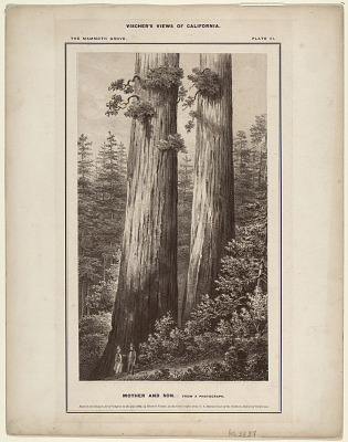The Mammoth Grove. Plate VI. Mother and Son.