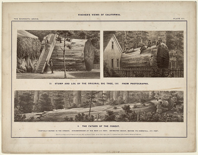 The Mammoth Grove. Plate VII.