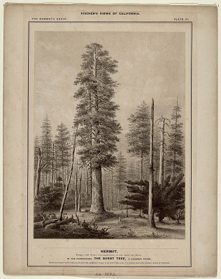 The Mammoth Grove. Plate XI. Hermit.