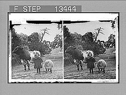 """A little child shall lead them!"" Caption no. 6854 : stereoscopic photonegative, 1901"
