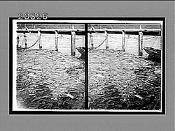 """A pot full of fish""--Trap-fishing for salmon in Puget Sound, Washington. Active no. 6228 : stereo interpositive"