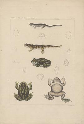 Engraving of toad and salamander species