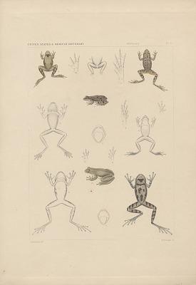 Engraving of frog species