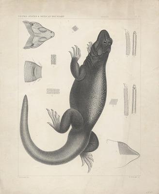 Engraving of lizard species