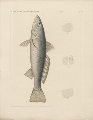 Engraving of fish species