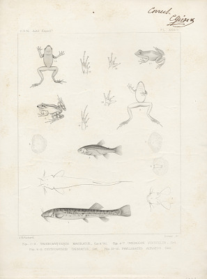 Engraving of fish and frog species
